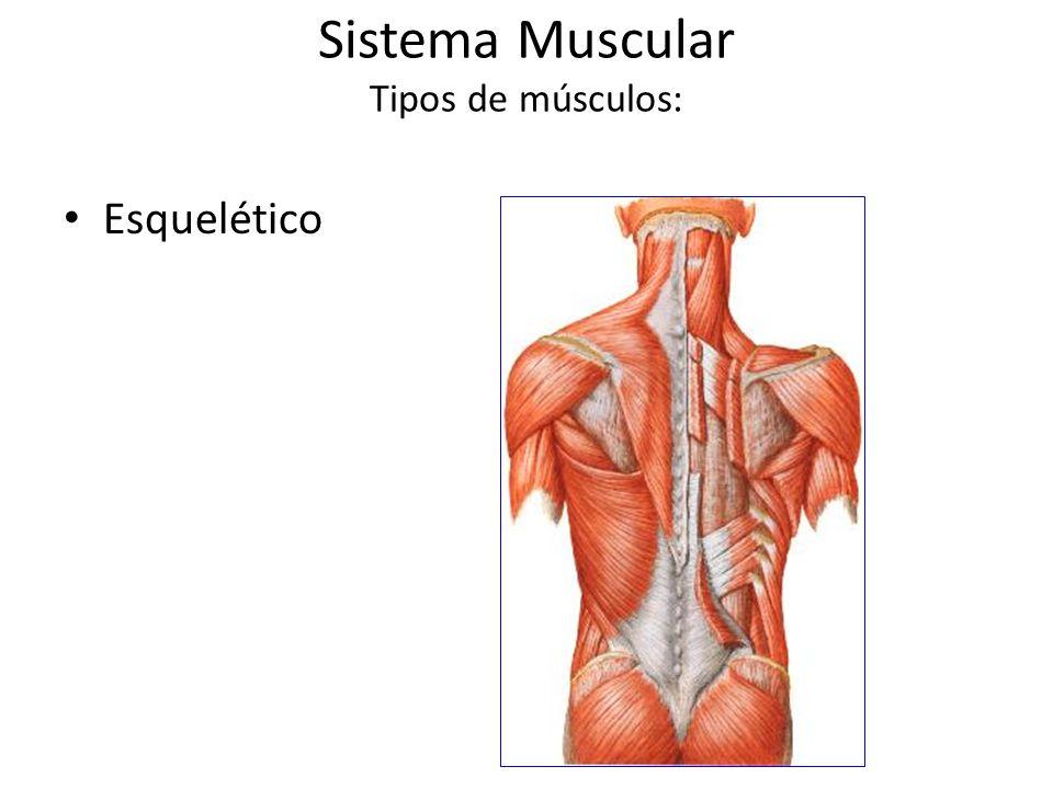 Sistema Muscular Tipos de músculos: Esquelético