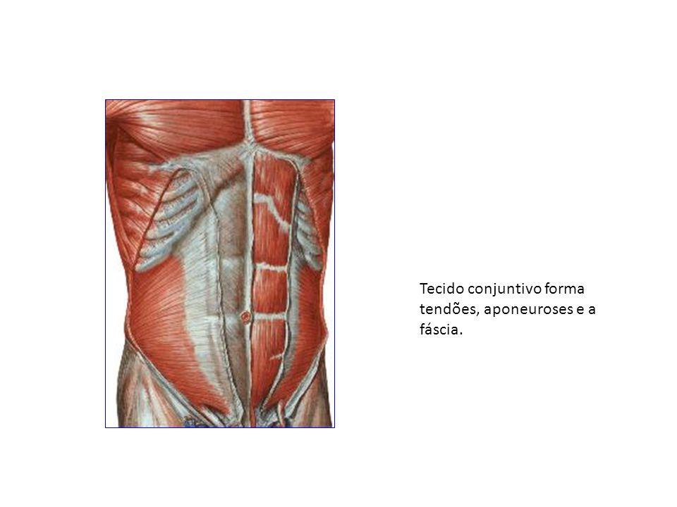 Tecido conjuntivo forma tendões, aponeuroses e a fáscia.