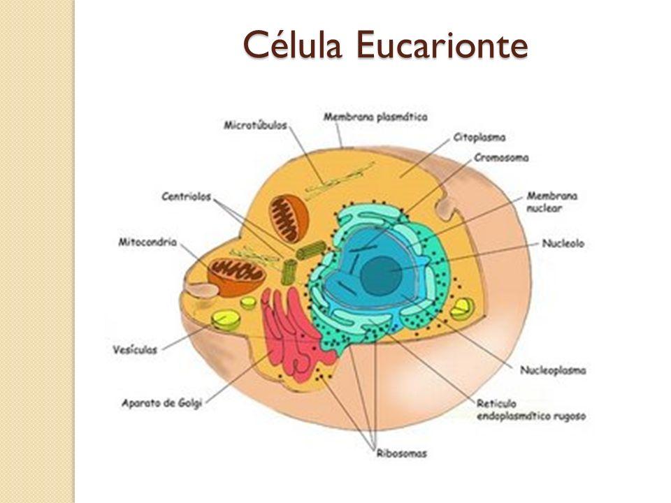 CÉLULA ANIMAL Citoplasma Membrana plasmática Núcleo Diversas organelas