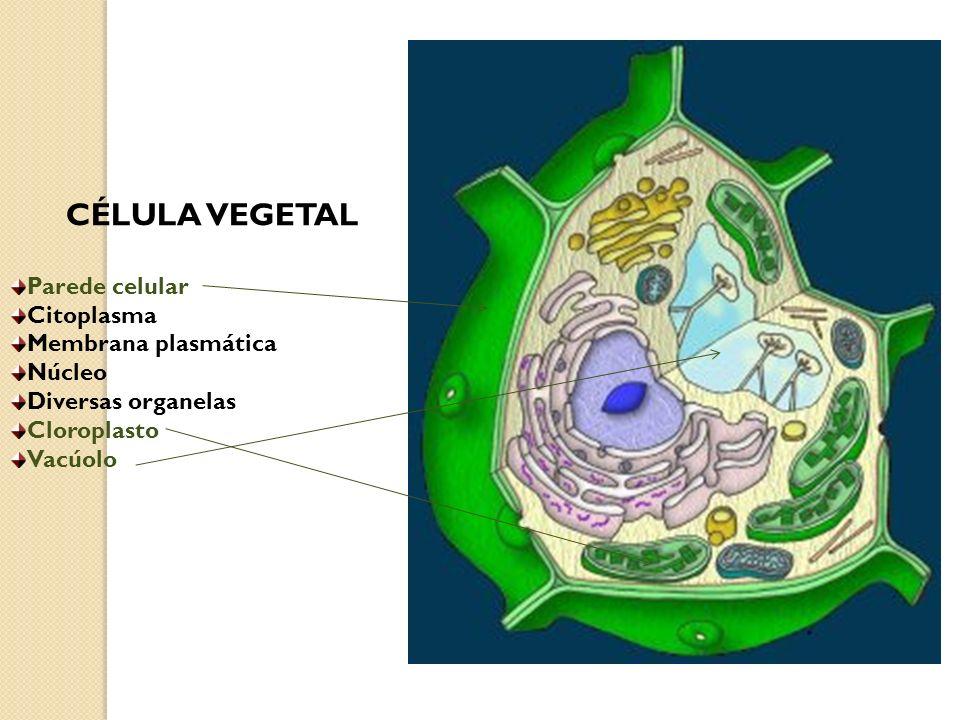 CÉLULA VEGETAL Parede celular Citoplasma Membrana plasmática Núcleo Diversas organelas Cloroplasto Vacúolo