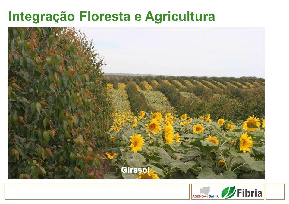 Integração Floresta e Agricultura Girasol