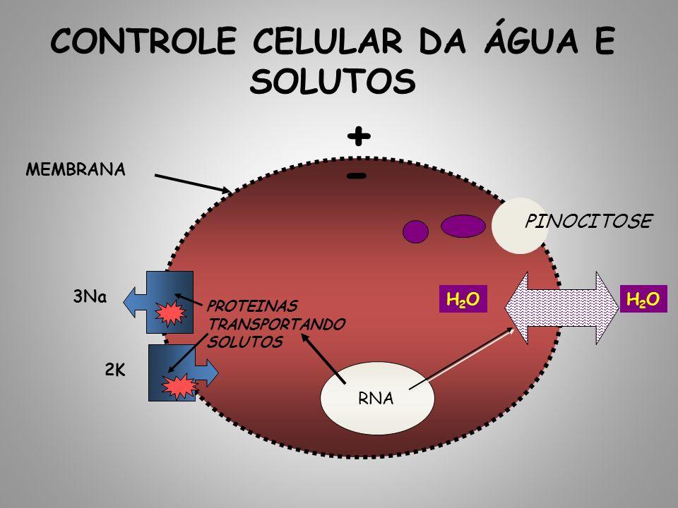 CONTROLE CELULAR DA ÁGUA E SOLUTOS MEMBRANA H2OH2OH2OH2O PINOCITOSE PROTEINAS TRANSPORTANDO SOLUTOS RNA 3Na 2K - +