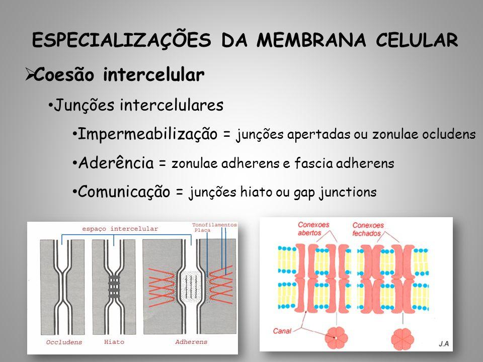 ESPECIALIZAÇÕES DA MEMBRANA CELULAR Coesão intercelular Junções intercelulares Impermeabilização = junções apertadas ou zonulae ocludens Aderência = zonulae adherens e fascia adherens Comunicação = junções hiato ou gap junctions