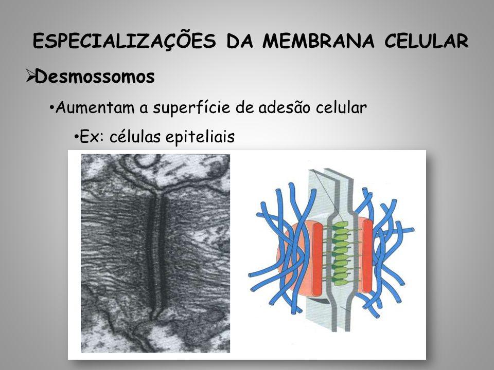 ESPECIALIZAÇÕES DA MEMBRANA CELULAR Desmossomos Aumentam a superfície de adesão celular Ex: células epiteliais