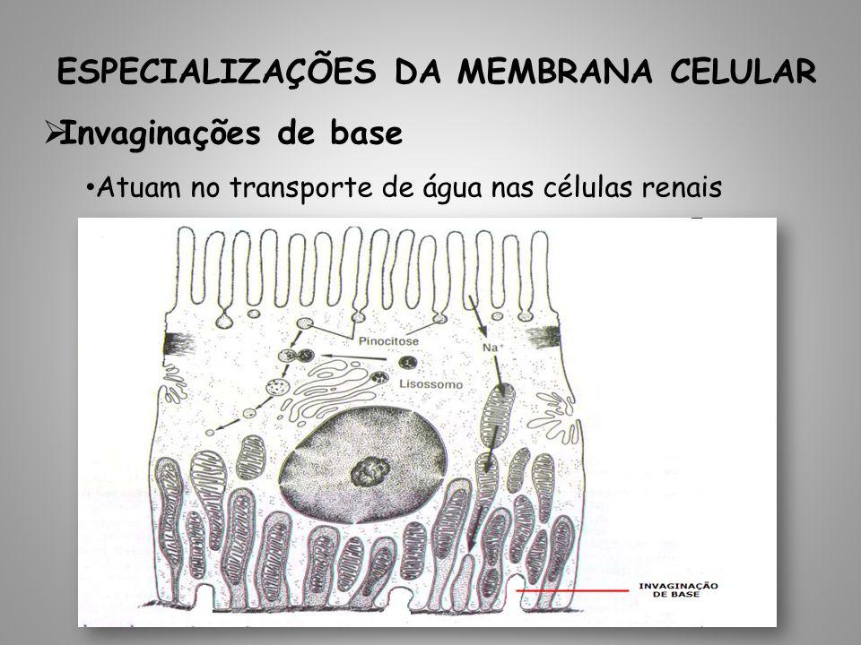 ESPECIALIZAÇÕES DA MEMBRANA CELULAR Invaginações de base Atuam no transporte de água nas células renais