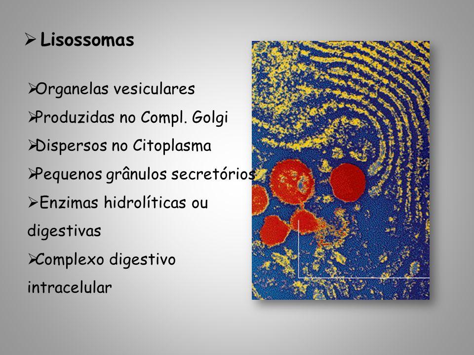 Lisossomas Organelas vesiculares Produzidas no Compl. Golgi Dispersos no Citoplasma Pequenos grânulos secretórios Enzimas hidrolíticas ou digestivas C
