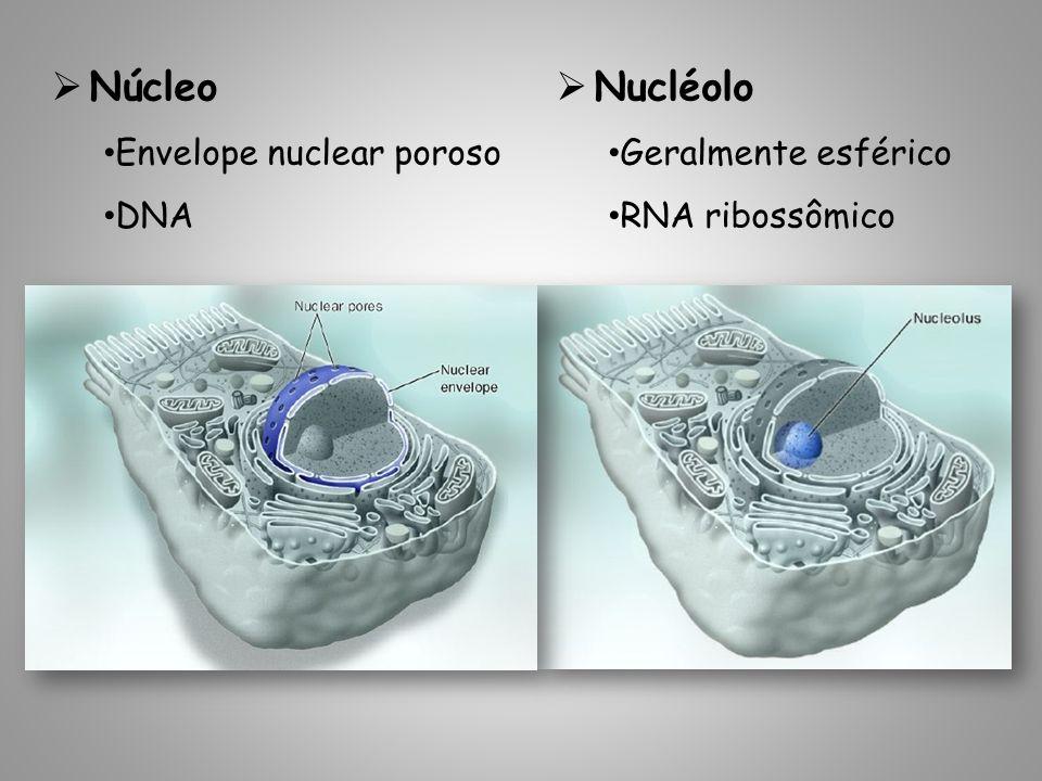 Geralmente esférico RNA ribossômico Núcleo Envelope nuclear poroso DNA