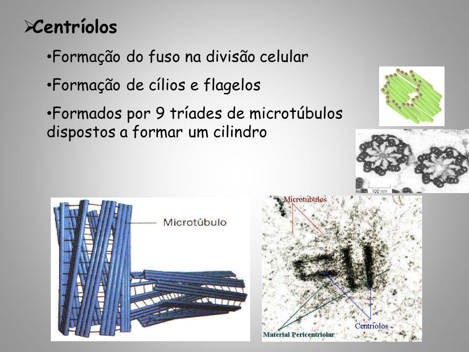 Centríolos Formação do fuso na divisão celular Formação de cílios e flagelos Formados por 9 tríades de microtúbulos dispostos a formar um cilindro