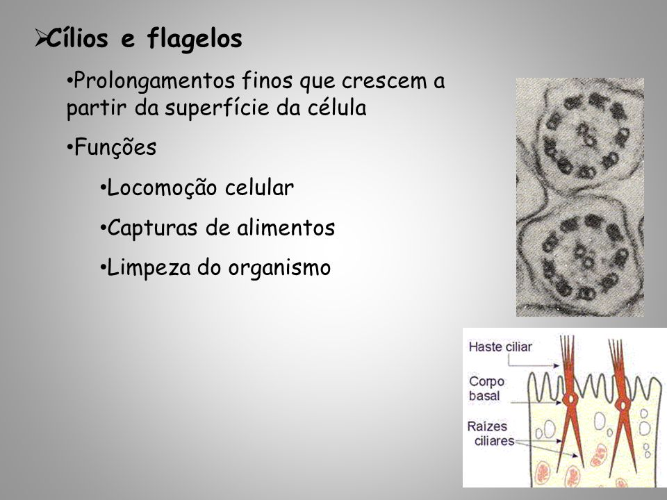 Cílios e flagelos Prolongamentos finos que crescem a partir da superfície da célula Funções Locomoção celular Capturas de alimentos Limpeza do organismo