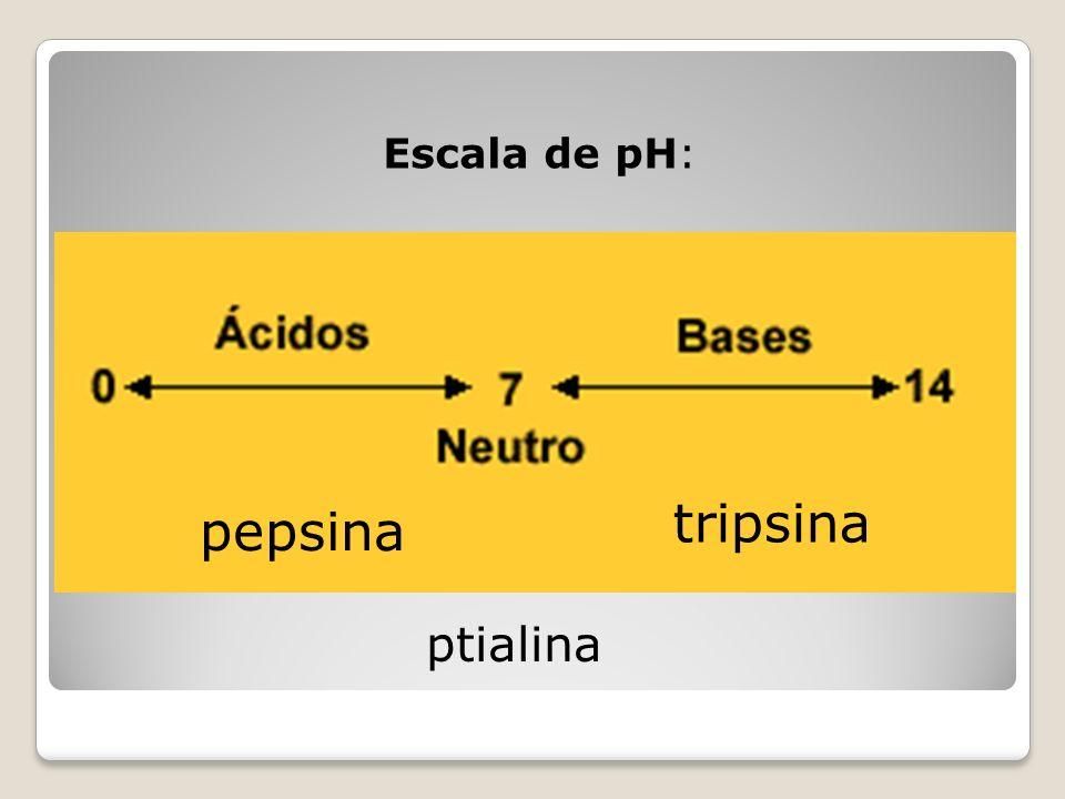 Escala de pH: t pepsina tripsina ptialina