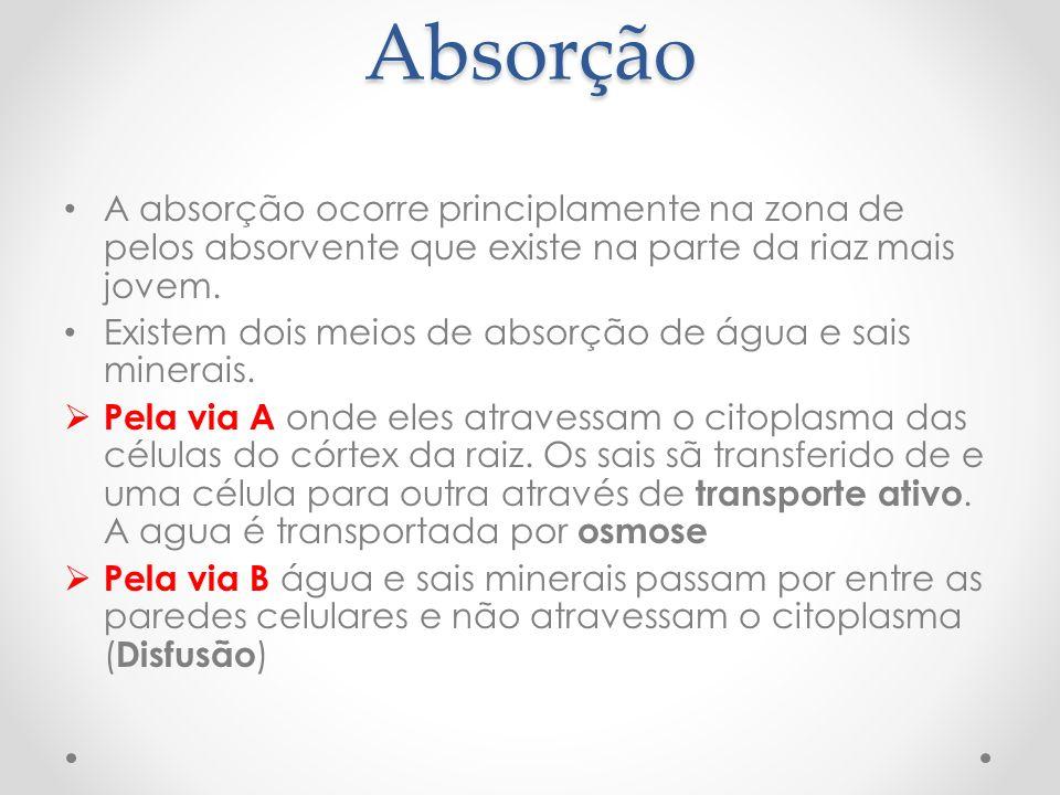 Absorção A absorção ocorre principlamente na zona de pelos absorvente que existe na parte da riaz mais jovem. Existem dois meios de absorção de água e