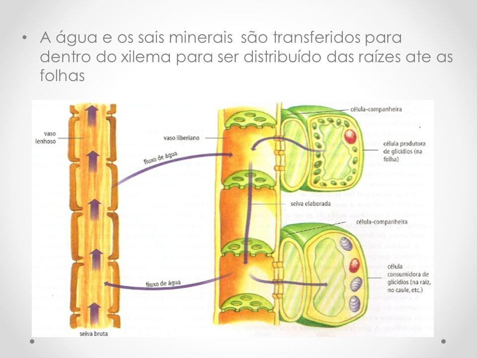 A água e os sais minerais são transferidos para dentro do xilema para ser distribuído das raízes ate as folhas
