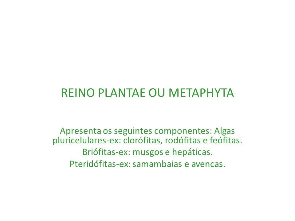 REINO PLANTAE OU METAPHYTA Apresenta os seguintes componentes: Algas pluricelulares-ex: clorófitas, rodófitas e feófitas. Briófitas-ex: musgos e hepát