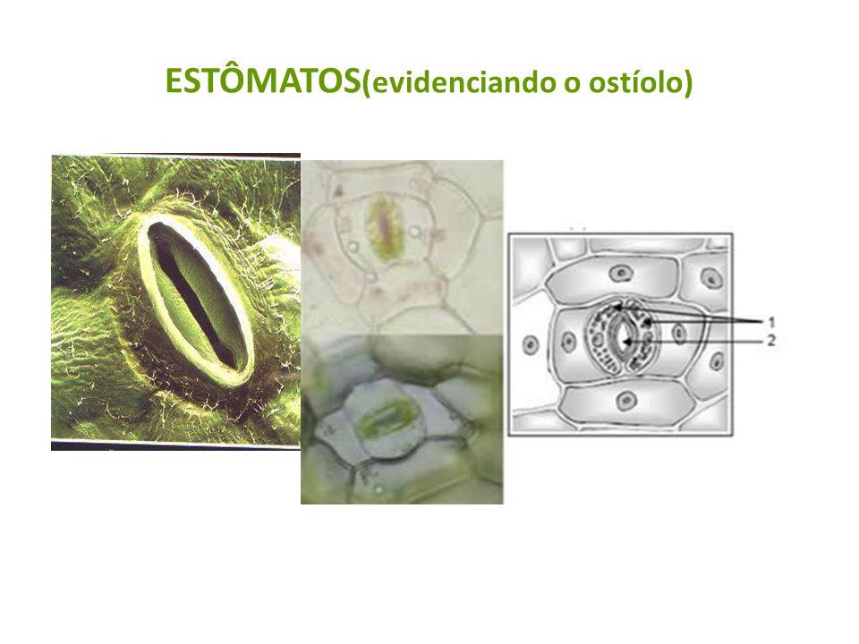ESTÔMATOS (evidenciando o ostíolo)