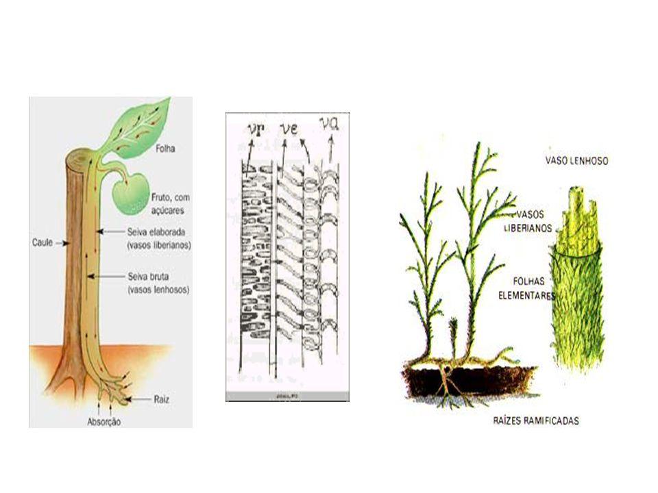 Classificação quanto aos órgãos de Reprodução: Criptógamas: não produzem flores nem sementes; ex: algas, briófitas e pteridófitas.