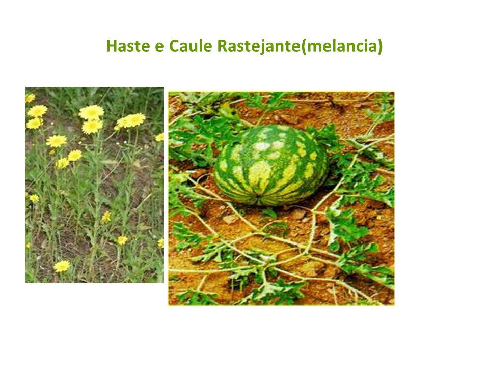 Haste e Caule Rastejante(melancia)