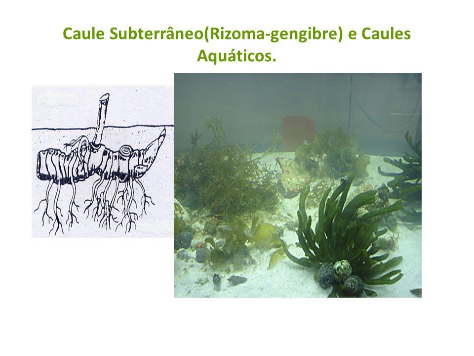 Caule Subterrâneo(Rizoma-gengibre) e Caules Aquáticos.