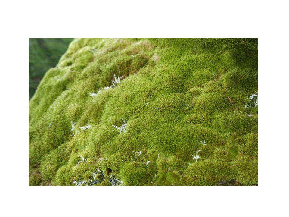 Pteridófitas Exemplares mais conhecidos: Avencas, samambaias e xaxins.