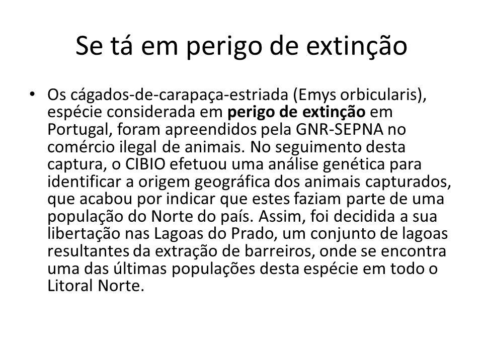 Se tá em perigo de extinção Os cágados-de-carapaça-estriada (Emys orbicularis), espécie considerada em perigo de extinção em Portugal, foram apreendidos pela GNR-SEPNA no comércio ilegal de animais.