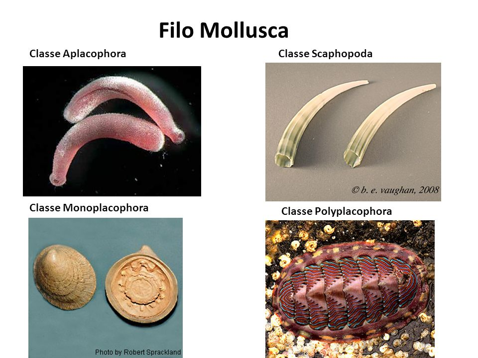 Classe Aplacophora Moluscos bizarros, pequenos, vermiformes e escavadores de profundezas marinhas.