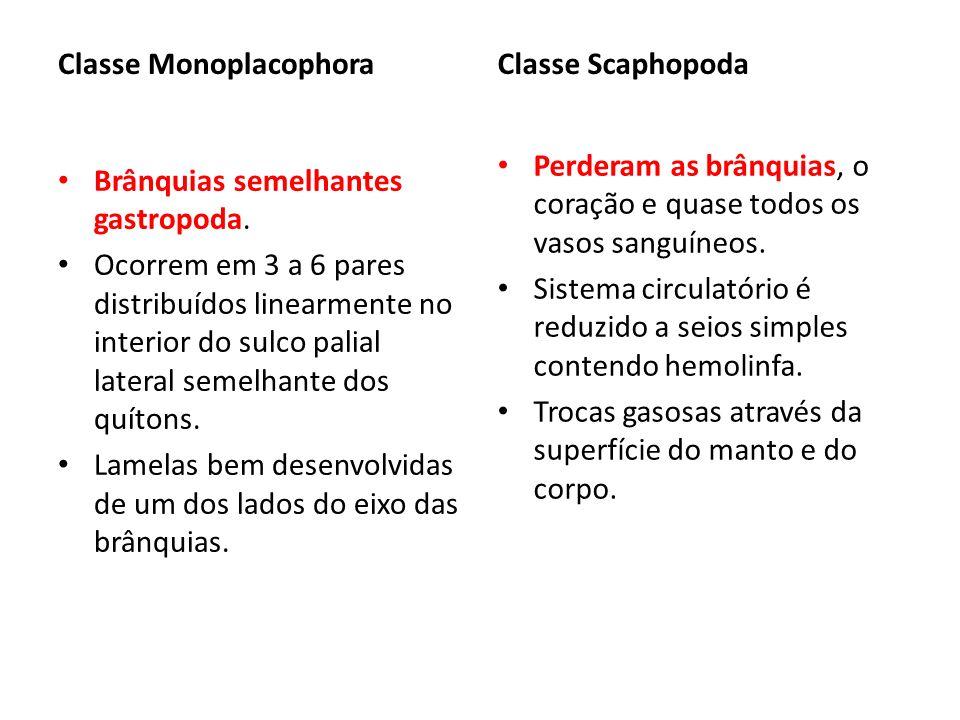 Classe Monoplacophora Brânquias semelhantes gastropoda. Ocorrem em 3 a 6 pares distribuídos linearmente no interior do sulco palial lateral semelhante