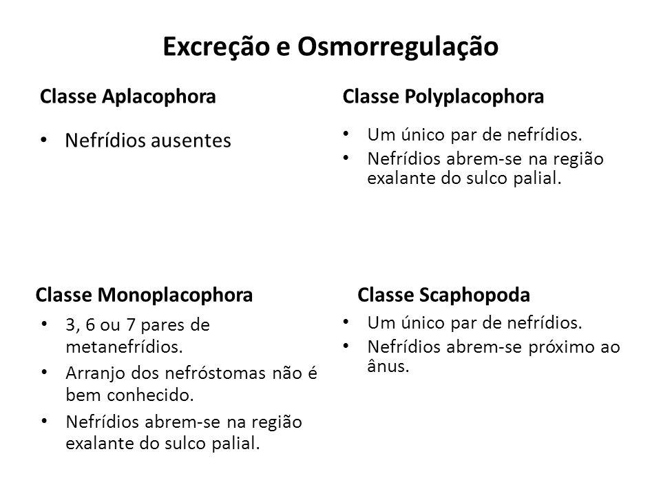 Excreção e Osmorregulação Classe Aplacophora Nefrídios ausentes Classe Polyplacophora Um único par de nefrídios. Nefrídios abrem-se na região exalante