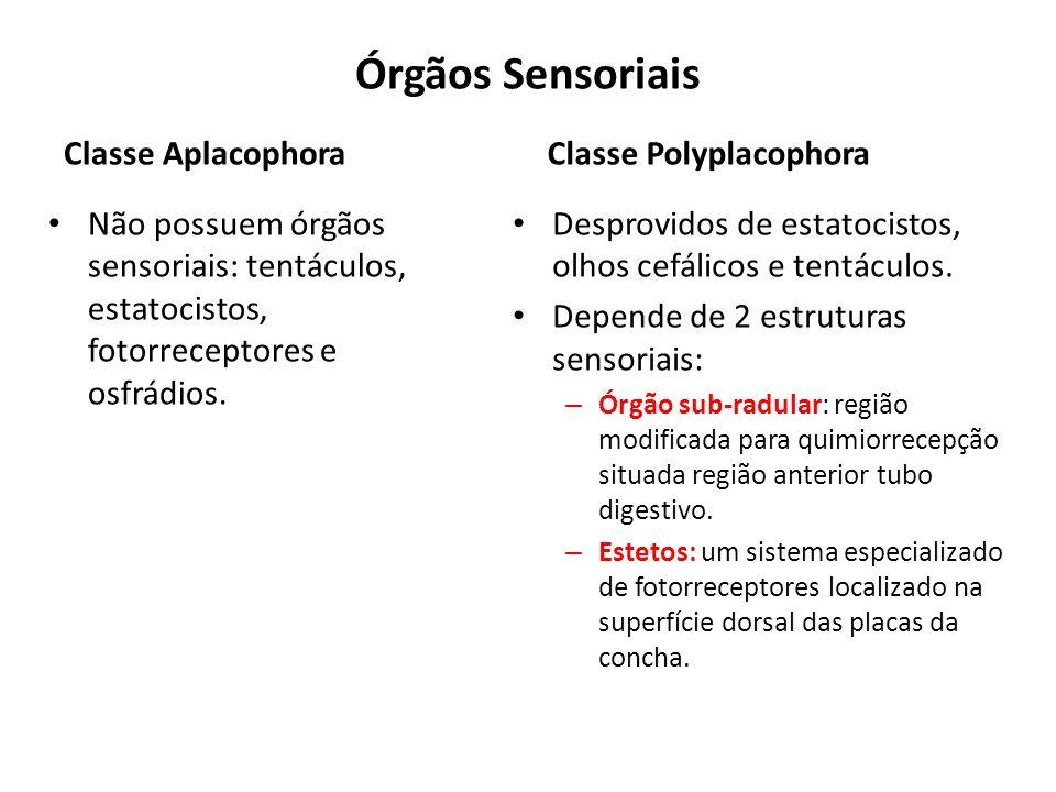 Órgãos Sensoriais Classe Aplacophora Não possuem órgãos sensoriais: tentáculos, estatocistos, fotorreceptores e osfrádios. Classe Polyplacophora Despr