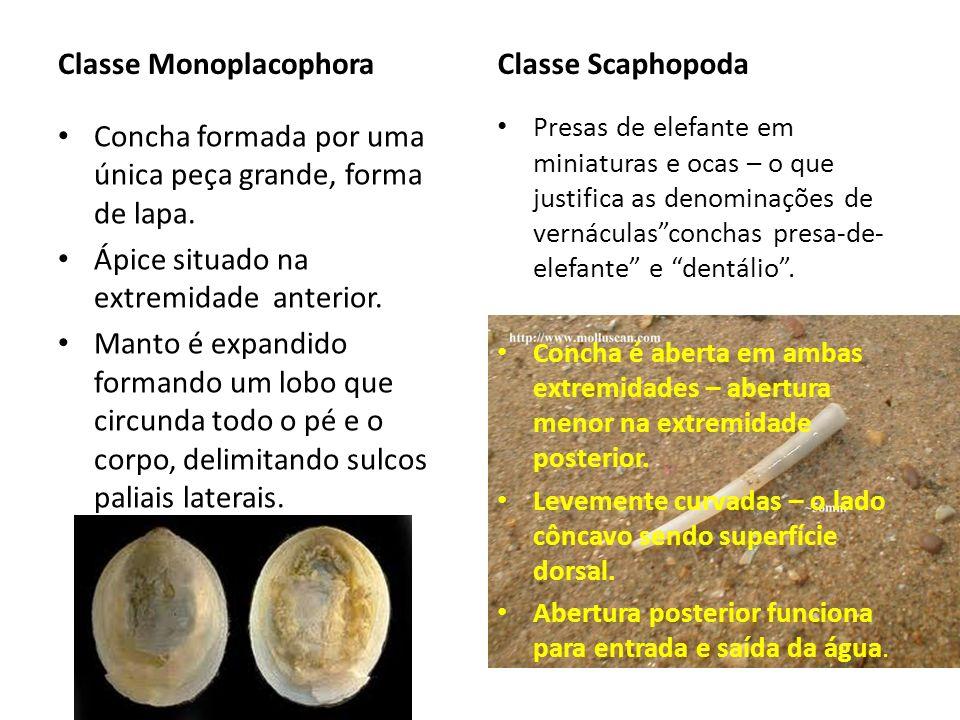 Classe Monoplacophora Concha formada por uma única peça grande, forma de lapa. Ápice situado na extremidade anterior. Manto é expandido formando um lo