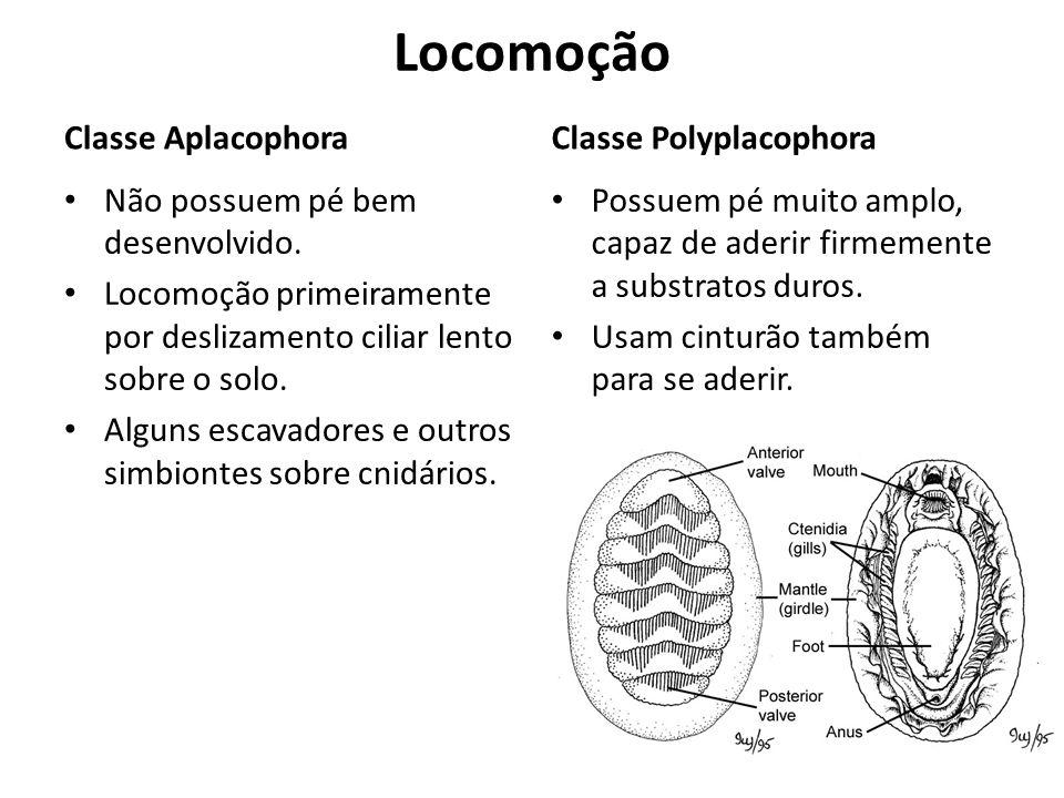 Locomoção Classe Aplacophora Não possuem pé bem desenvolvido. Locomoção primeiramente por deslizamento ciliar lento sobre o solo. Alguns escavadores e