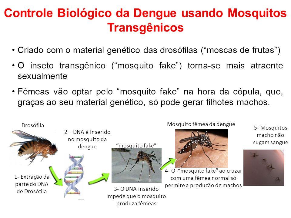 Controle Biológico da Dengue usando Mosquitos Transgênicos Criado com o material genético das drosófilas (moscas de frutas) O inseto transgênico (mosquito fake) torna-se mais atraente sexualmente Fêmeas vão optar pelo mosquito fake na hora da cópula, que, graças ao seu material genético, só pode gerar filhotes machos.