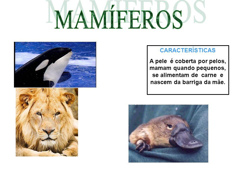 CARACTERÍSTICAS A pele é coberta por pelos, mamam quando pequenos, se alimentam de carne e nascem da barriga da mãe.