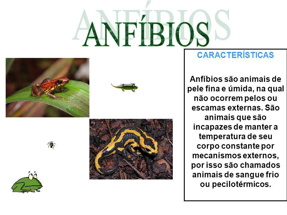 CARACTERÍSTICAS Anfíbios são animais de pele fina e úmida, na qual não ocorrem pelos ou escamas externas. São animais que são incapazes de manter a te