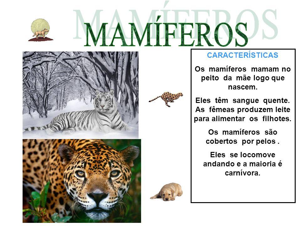 CARACTERÍSTICAS Os mamíferos mamam no peito da mãe logo que nascem. Eles têm sangue quente. As fêmeas produzem leite para alimentar os filhotes. Os ma