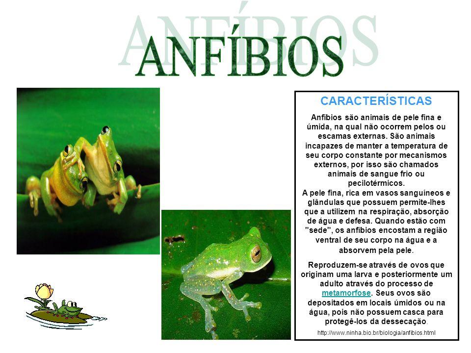 CARACTERÍSTICAS Anfíbios são animais de pele fina e úmida, na qual não ocorrem pelos ou escamas externas. São animais incapazes de manter a temperatur