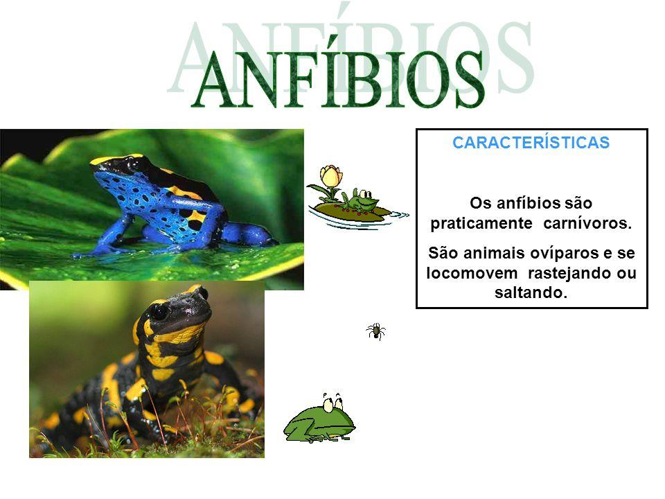 CARACTERÍSTICAS Os anfíbios são praticamente carnívoros. São animais ovíparos e se locomovem rastejando ou saltando.