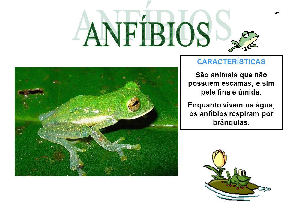 CARACTERÍSTICAS São animais que não possuem escamas, e sim pele fina e úmida. Enquanto vivem na água, os anfíbios respiram por brânquias.