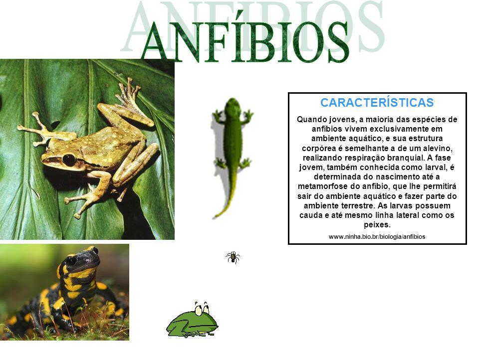 CARACTERÍSTICAS Quando jovens, a maioria das espécies de anfíbios vivem exclusivamente em ambiente aquático, e sua estrutura corpórea é semelhante a d