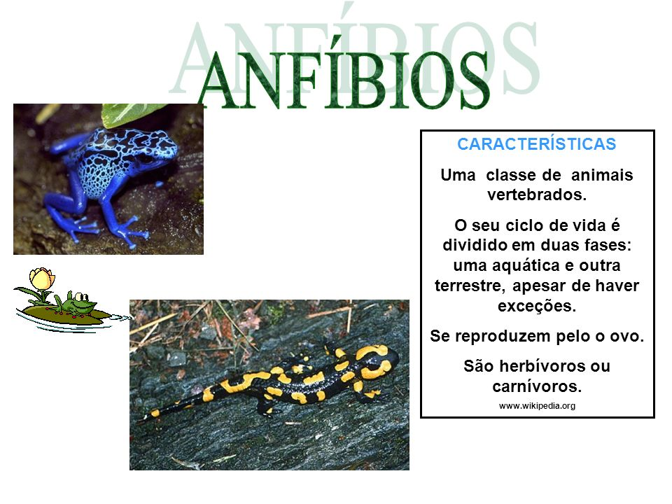 CARACTERÍSTICAS Uma classe de animais vertebrados. O seu ciclo de vida é dividido em duas fases: uma aquática e outra terrestre, apesar de haver exceç