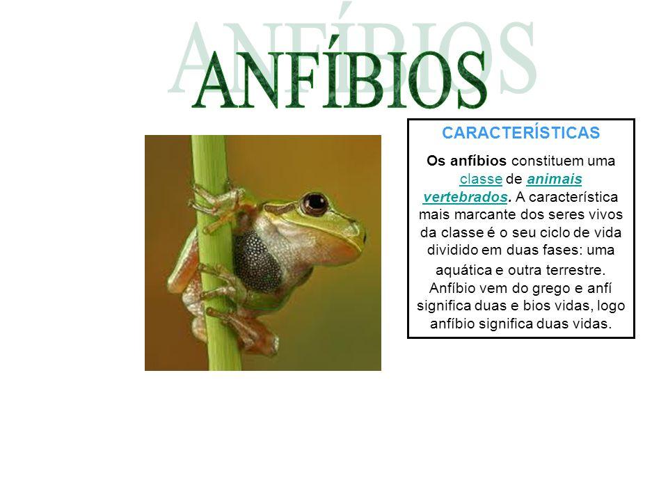 CARACTERÍSTICAS Os anfíbios constituem uma classe de animais vertebrados. A característica mais marcante dos seres vivos da classe é o seu ciclo de vi