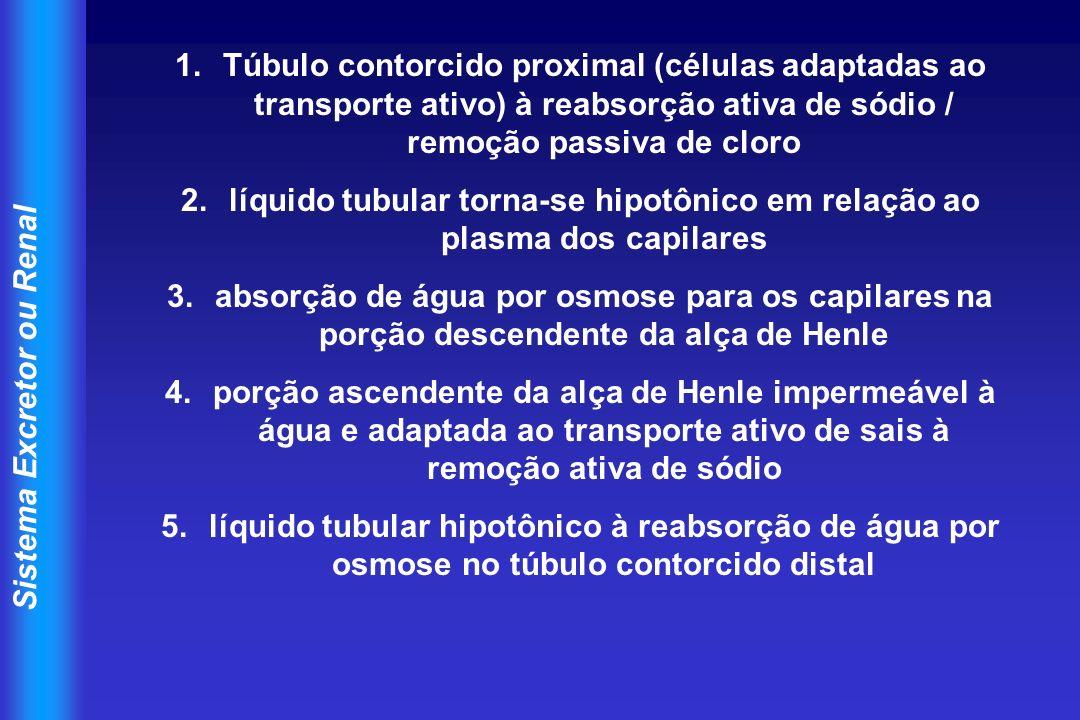 Sistema Excretor ou Renal 1.Túbulo contorcido proximal (células adaptadas ao transporte ativo) à reabsorção ativa de sódio / remoção passiva de cloro