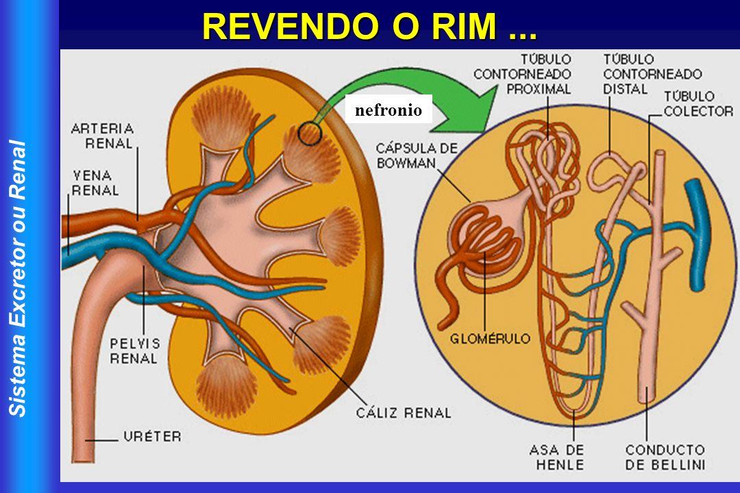 Sistema Excretor ou Renal REVENDO O RIM... nefronio