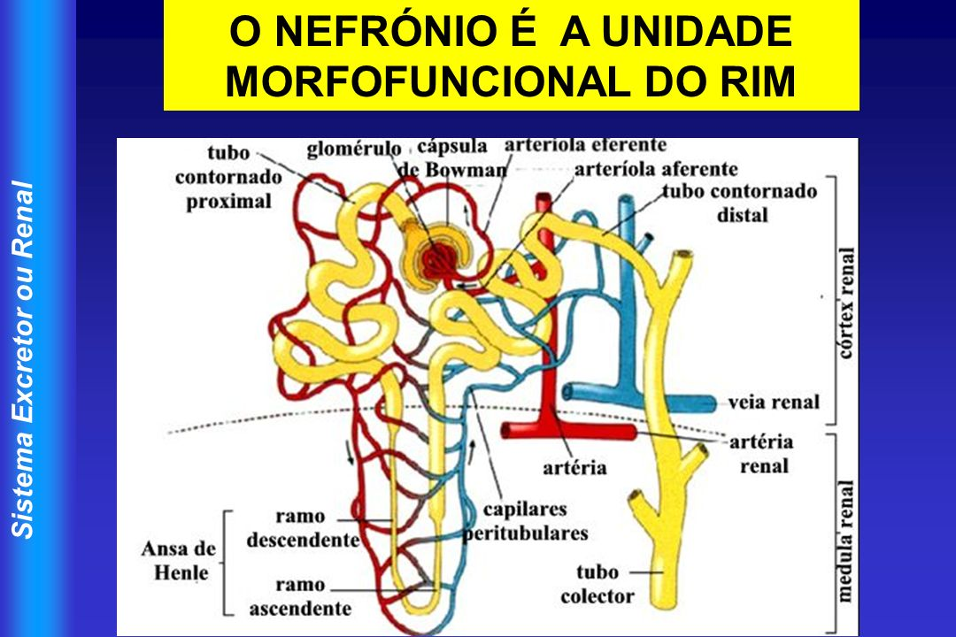 Sistema Excretor ou Renal O NEFRÓNIO É A UNIDADE MORFOFUNCIONAL DO RIM