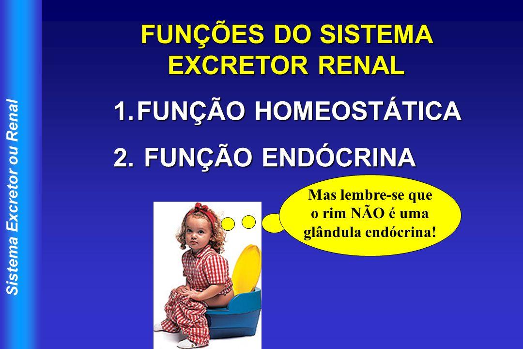 FUNÇÕES DO SISTEMA EXCRETOR RENAL 1.FUNÇÃO HOMEOSTÁTICA 2. FUNÇÃO ENDÓCRINA Mas lembre-se que o rim NÃO é uma glândula endócrina!