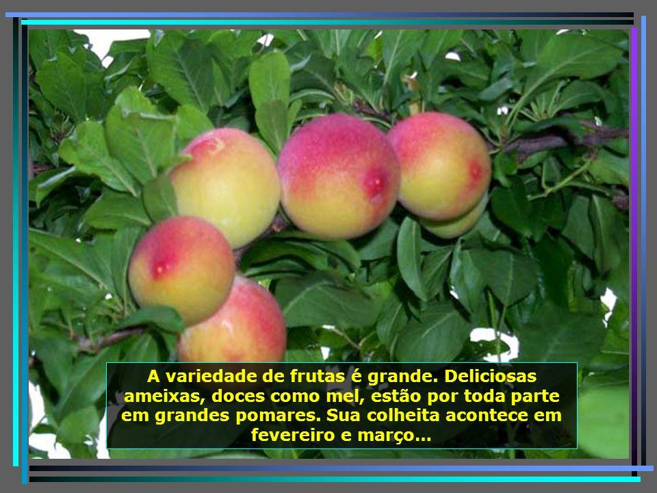 É, também, grande produtora de maçã, cuja colheita acontece em fevereiro e março. Ai que delícia entrar nos seus pomares e colher a fruta diretamente