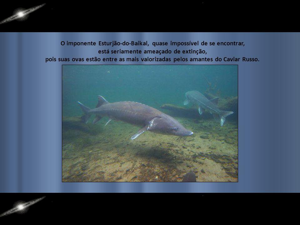 ***Uma Paisagem Surreal*** Várias espécies endêmicas de peixes, crustáceos e mamíferos habitam suas águas. Um inesperado colorido no fundo de um lago
