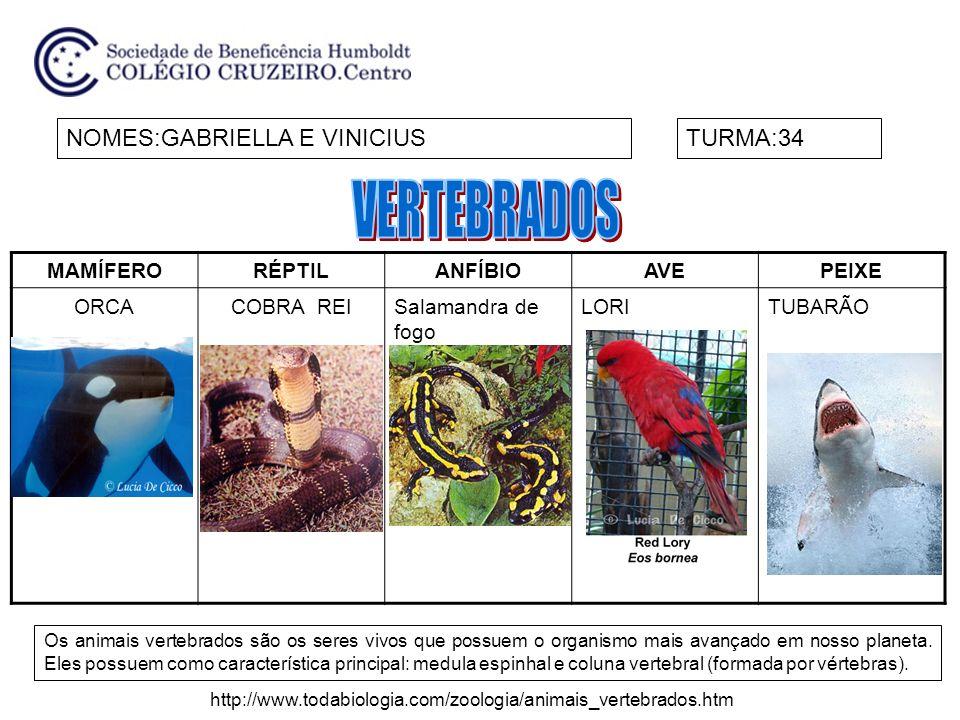 MAMÍFERORÉPTILANFÍBIOAVEPEIXE ORCACOBRA REISalamandra de fogo LORITUBARÃO NOMES:GABRIELLA E VINICIUSTURMA:34 Os animais vertebrados são os seres vivos