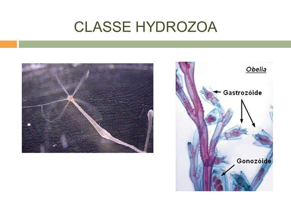 CLASSE HYDROZOA