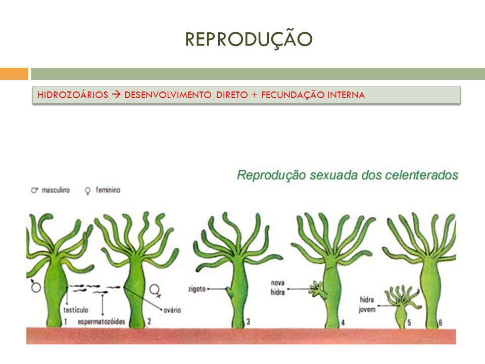 REPRODUÇÃO HIDROZOÁRIOS DESENVOLVIMENTO DIRETO + FECUNDAÇÃO INTERNA