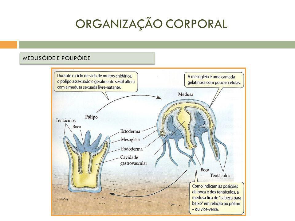 ORGANIZAÇÃO CORPORAL MEDUSÓIDE E POLIPÓIDE