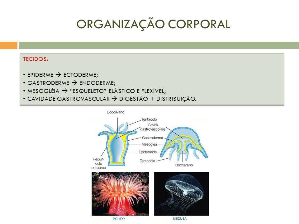 ORGANIZAÇÃO CORPORAL TECIDOS: EPIDERME ECTODERME; GASTRODERME ENDODERME; MESOGLÉIA ESQUELETO ELÁSTICO E FLEXÍVEL; CAVIDADE GASTROVASCULAR DIGESTÃO + D